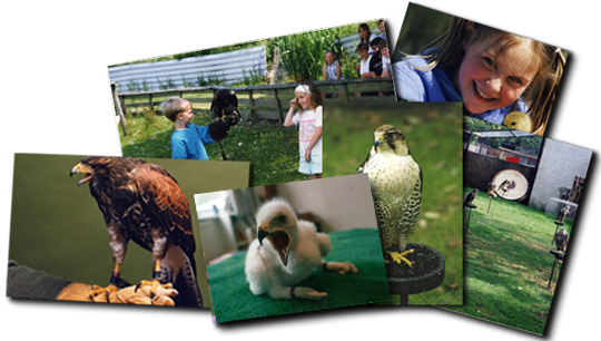 Welsh Hawking Centre experiances