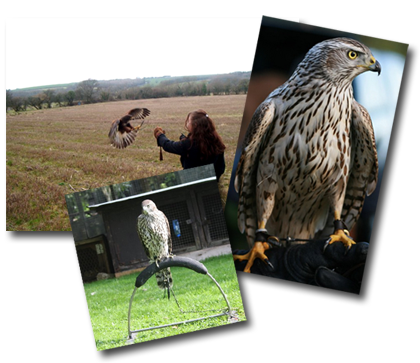 Welsh Hawking Centre Image